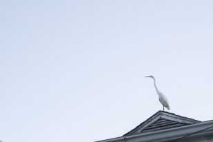 Great Egret Heron atop a roof